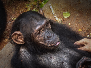 marienburg-chimpanzees-tickle-face