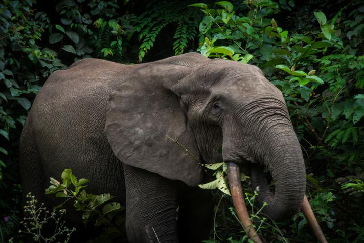gabon forest elephant 2 720x480