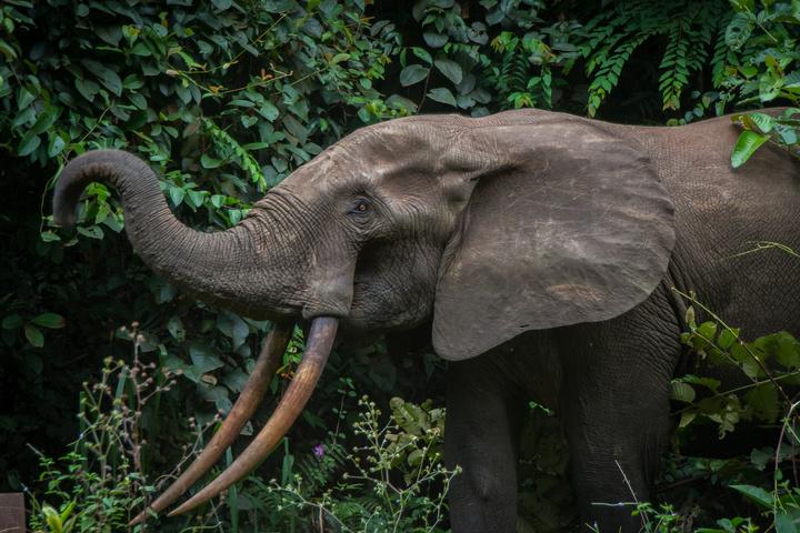 gabon forest elephant 720x480