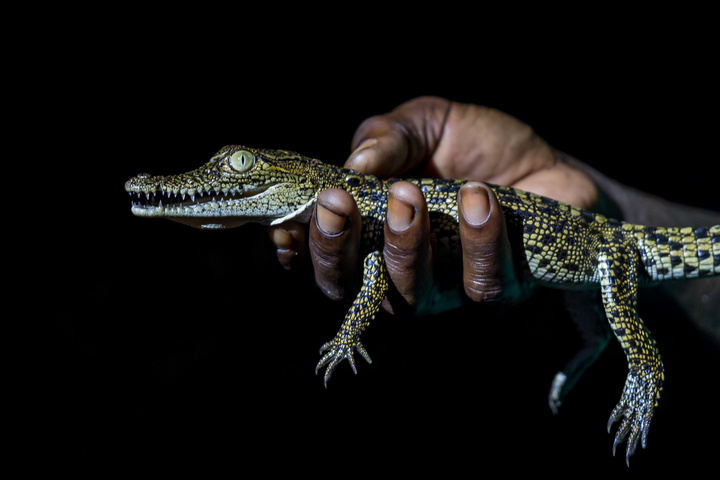 loango national park gabon baby crocodile 720x480