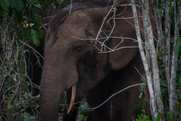 BIG forest elephant keeping an eye on us