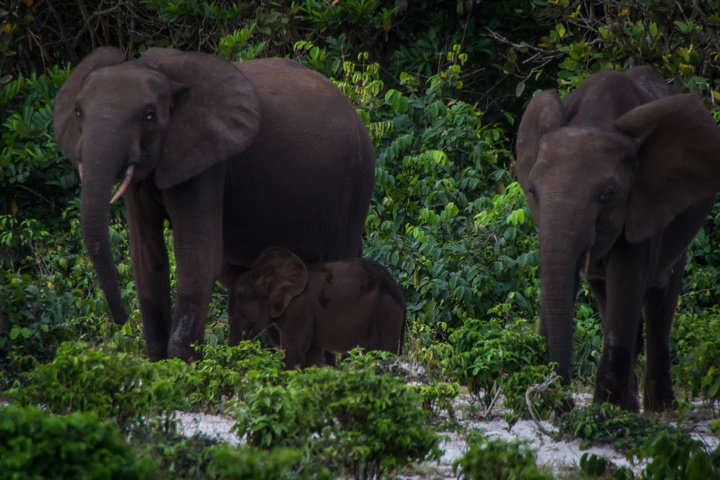 loango national park gabon elephants on beach with baby 720x480
