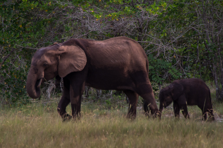 loango national park gabon mom baby elephant 720x480