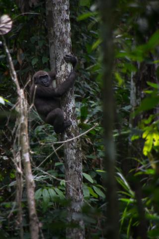 lope gorilla 320x480