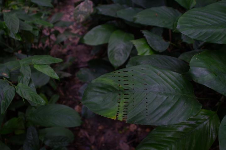 lope leaf 720x480