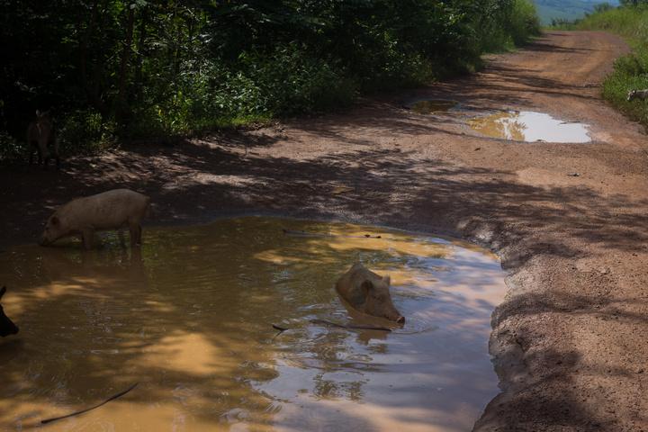 drc pigs mud pit 720x480