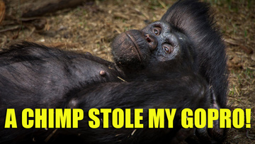 chimp-stole-my-gorpo