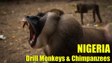 drill monkeys and chims