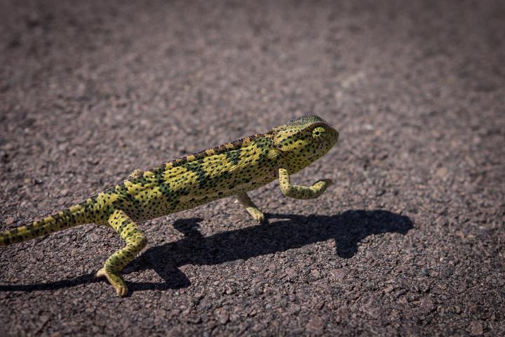 angola chameleon 720x480