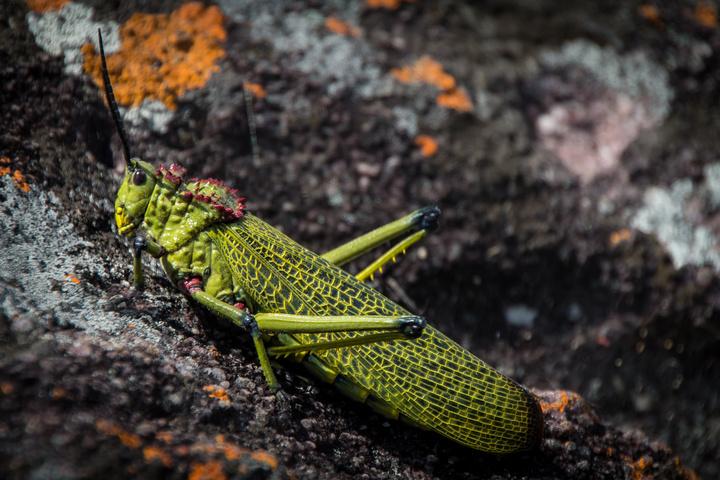 lubango grasshopper 720x480