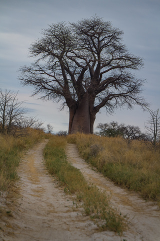 baines baobabs 320x480