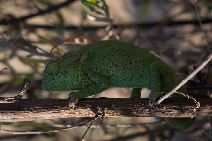 chameleon 1 720x480