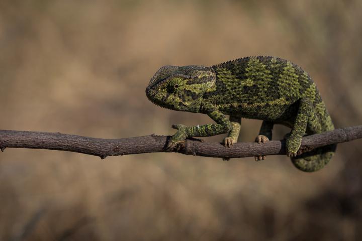 chameleon 2 720x480