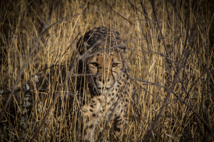 cheetah camouflage 720x480