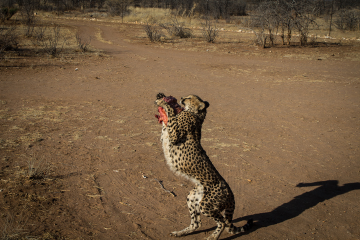 cheetah catchting meat 720x480