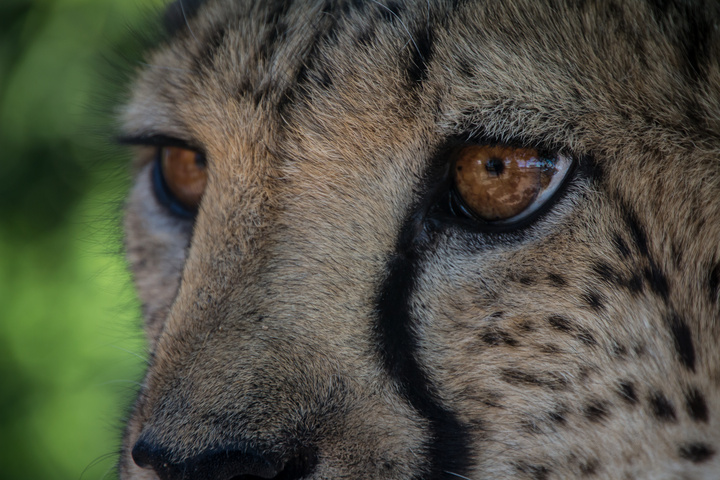 cheetah eye closeup 720x480