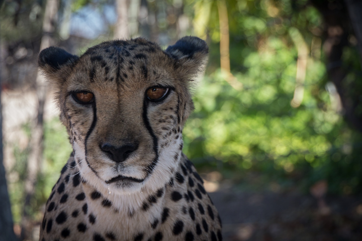 cheetah face 720x480