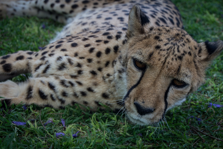 cheetah lying down 720x480