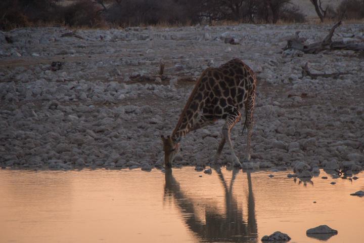 giraffe drinking 720x480
