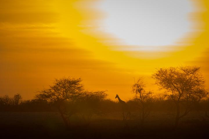giraffe sunset 720x480