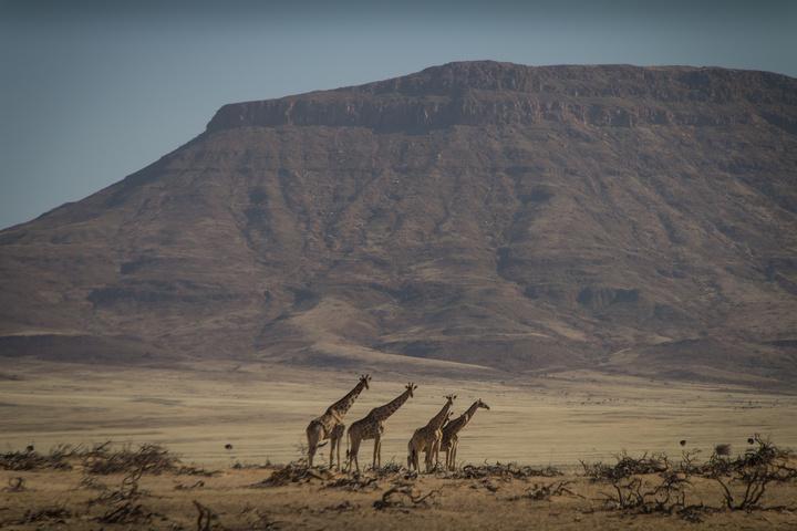 giraffes in namib desert 720x480