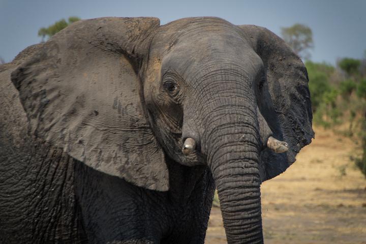khaudum elephant 720x480