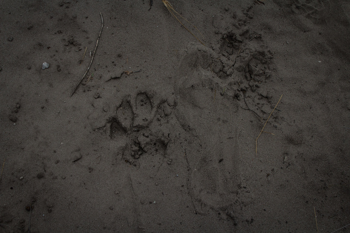 lion print with footprint 720x480