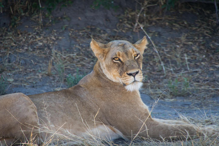 moremi female lion 720x480