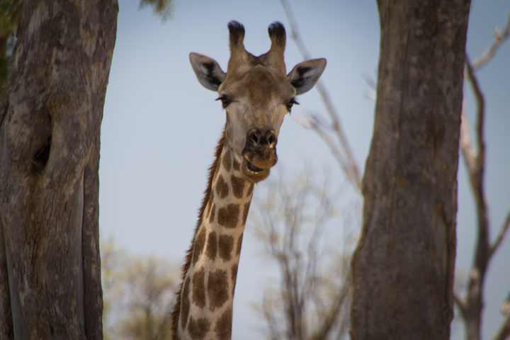 moremi giraffe 720x480