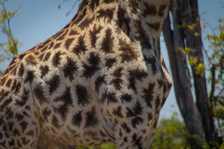 moremi giraffe spots 720x480