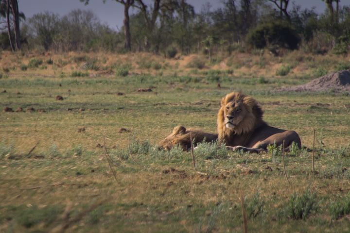 moremi male lion 720x480