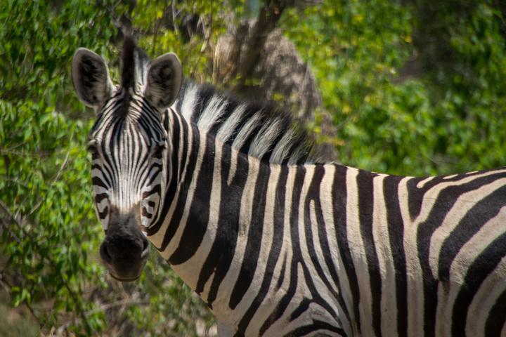 moremi zebra 720x480