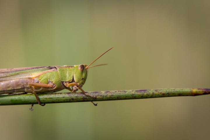 okavango grasshopper 720x480