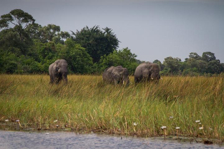 okavango makoro elephants 720x480