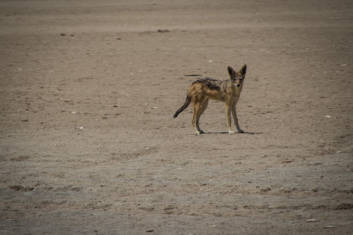 skeleton coast jackal 720x480