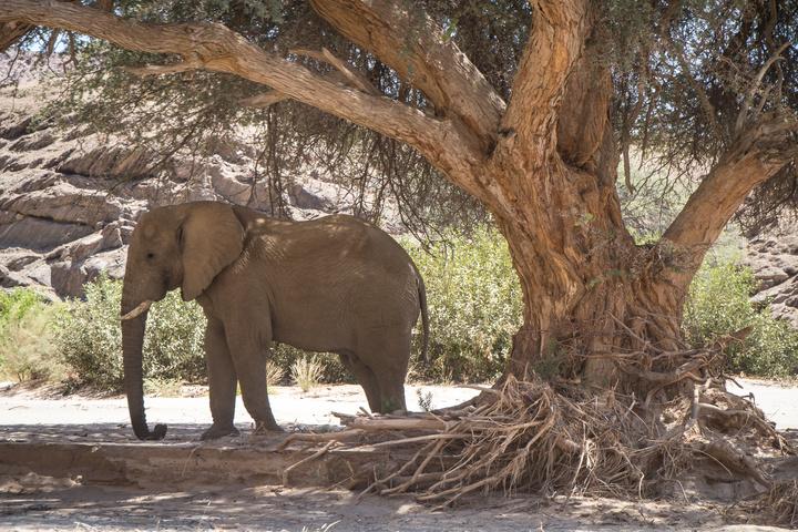 solitary massive elephant 720x480
