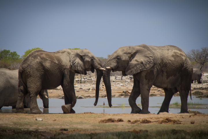 two elephants meeting 720x480