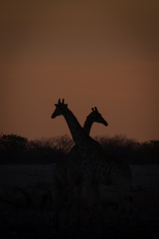 two girrafes at sunset 320x480