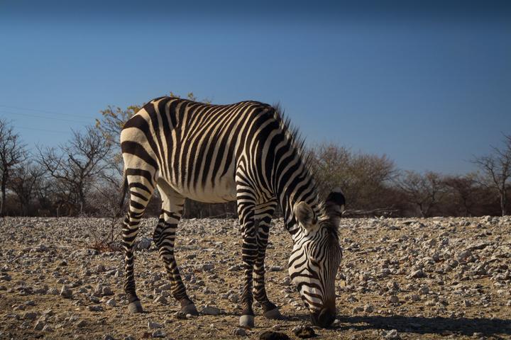 zebra 720x480
