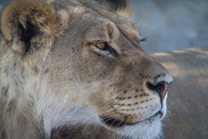 central kalahari lion profile face 720x480