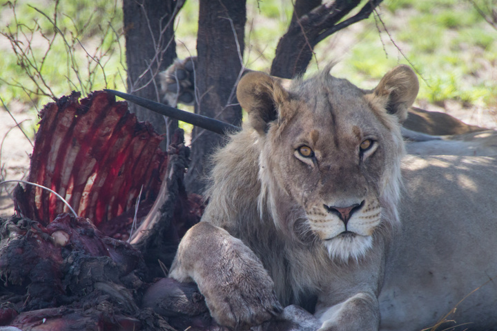 central kalahari lion with kill 720x480
