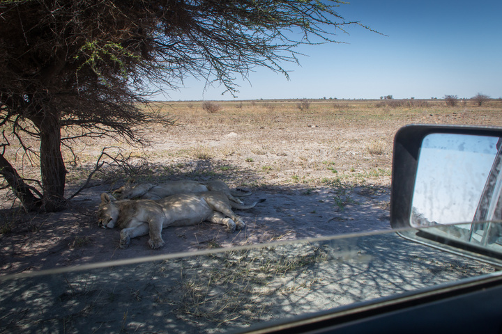 central kalahari lions close to jeep 720x480