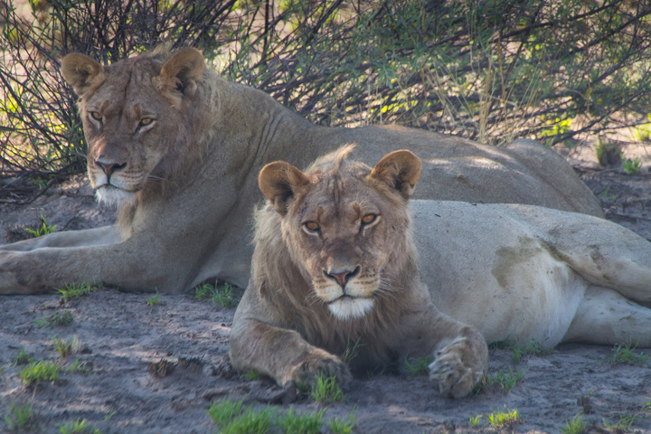 central kalahari two lions 720x480