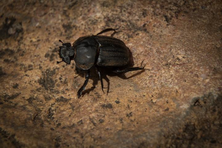 dung beetle1 720x480