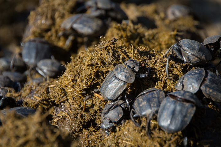dung beetles 720x480