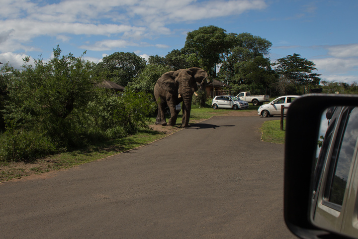 imfolozi elephant coming 720x480