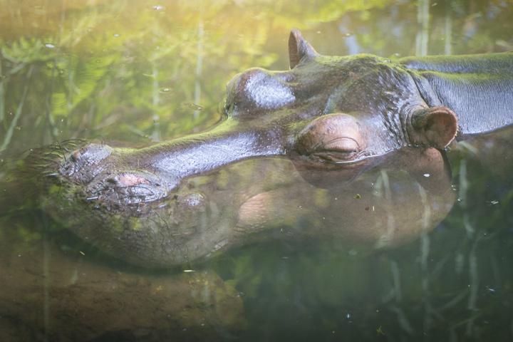 jessica hippo head 720x480