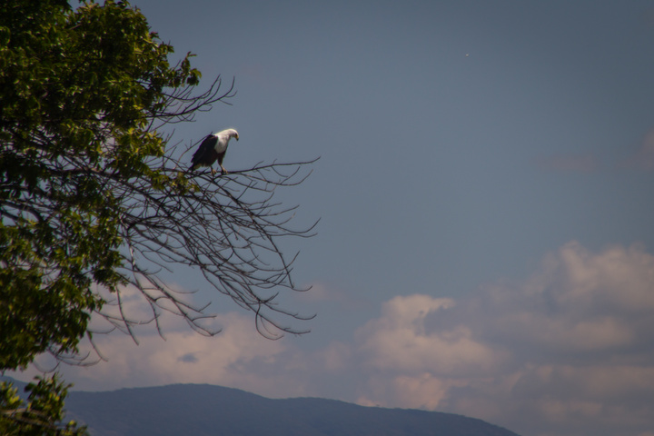 african fish eagle 720x480