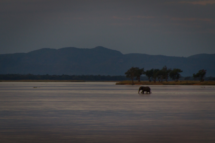 elephant walking across zambezi 720x480
