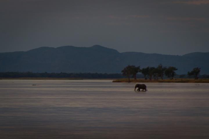 elephant walking across zambezi 720x480